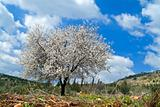 almond tree in bloom