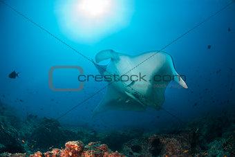 A giant oceanic manta ray