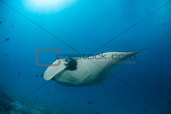 A manta ray at a cleaning station