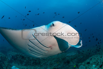 A close up of a manta ray