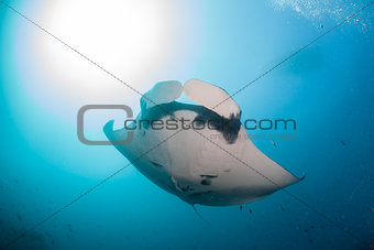 A gaint oceanic manta ray swimming overhead