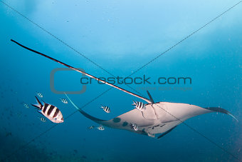 A manta ray drifting away