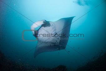 A manta swimming overhead