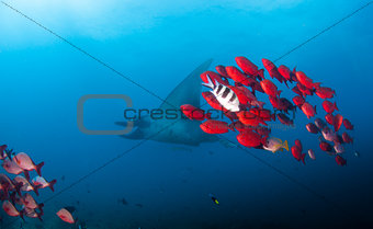 A reef manta swimming with some brightly colored fish
