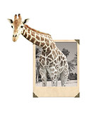 Giraffe in old photo frame with 3d effect