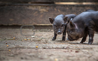 small pigs in the farm