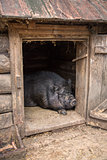 Pot-bellied pig is in the barn.