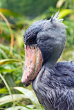Head of shoebill (side view)