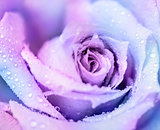 Winter rose background