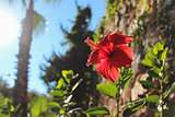 Hibiscus on the background of trees