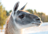 Llamas Head Close Up
