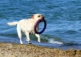 the yellow labrador running by the sea