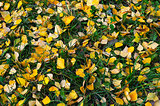Natural autumn background of yellow leaves