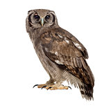 Verreaux's eagle-owl - Bubo lacteus (3 years old) in front of a