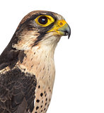 Close-up of a Lanner falcon