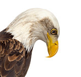 Close-up of a Bald eagle - Haliaeetus leucocephalus (12 years ol