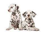 Two Dalmatian puppies in front of a white background
