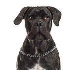 Close-up of a Cane Corso in front of a white background