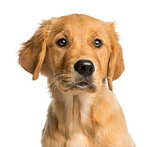 Close-up of a Golden Retreiver puppy in front of a white backgro