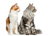 Two Maine Coons sitting in front of a white background