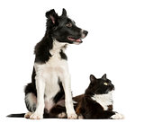 Border Collie puppy and a cat in front of a white background