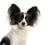 Close-up of a Papillon
