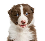 Close-up of a Border Collie puppy (6 weeks old) in front of a wh