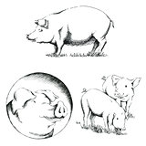 Pigs Illustrations