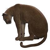 Puma Sitting