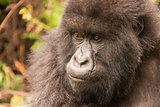 Close-up of gorilla in forest staring thoughtfully