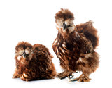 red silkies
