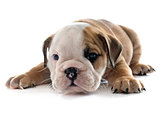 puppy english bulldog