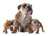 family english bulldog
