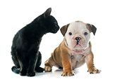 puppy english bulldog and kitten