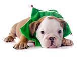 christmas puppy english bulldog
