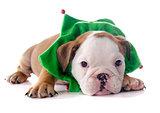 christmas puppy english bulldog