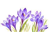 Crocus flowers snowdrop