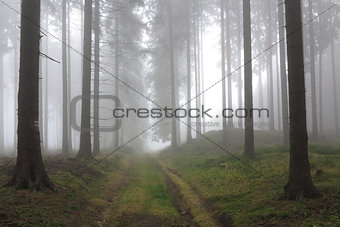 Autumn coniferous forest in the morning mist