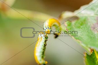 Caterpillar intersection