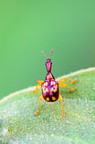 Close up Leaf Rolling Weevil or Giraffe Weevil