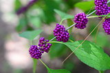 purple beautyberry Callicarpa fruit