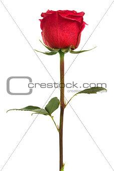 single scarlet rose