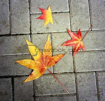 Beautiful thin maple leaves