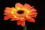 Side view of the orange-yellow color flower on black screen.