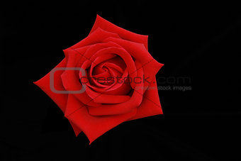 Top view of the red rose flower on black screen.