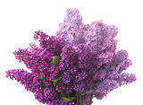 Lilac flowers on white