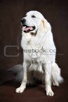 adult white cream golden retriever studio