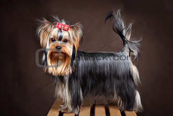Small purebred domestic dog, yorkshire terrier studio shot, dark