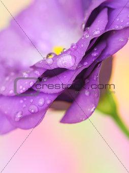 lisianthus flower on pastel background