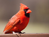 Male cardinal on a wood rail